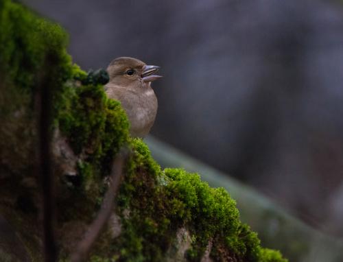Ptak wieczorem.. :) Zieba samiczka jak zwykle mniej kolorowa od samca :( #ptaki #zima #dokarmianie #alicjaszrednicka #ogrody