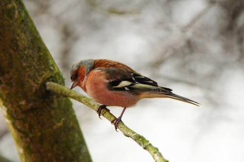 Zieba-samiec #Buchfink #ptaki #zima #ogrody #zieba #alicjaszrednicka
