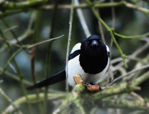 Sroka /długo czekałam na ten moment,mimo ,że wśród tylu gałęzi zdecydowałam się pokazać tę fotkę:) #ptaki #ogrody #sroki #natura