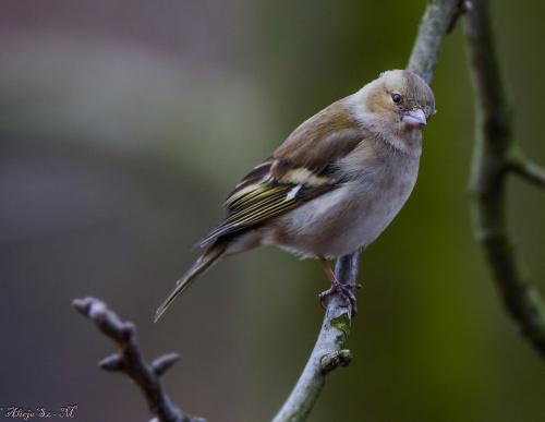 zieba.- #ptaki #ogrody #natura #przyroda