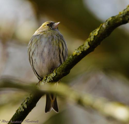 czyzyk,-(owa) #ptaki #ogrody #natura #przyroda