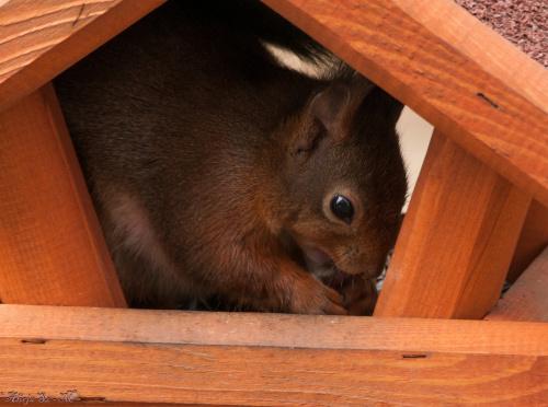Wiewiórki tez ciagle nie tylko na orzechy przybiegaja :) Stoja dwa karmniki,ale upodobaly sobie tylko ten:)) albo w drugim ,jeszcze zadnej nie spotkalam :))W dodatku ten jest mniejszy od drugiego:)#Wiewiórki #natura #przyroda #ogrody