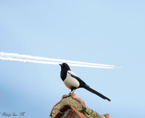 Sroka:- #ptaki #ogrody #natura #przyroda