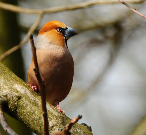 grubodziób,- #ptaki #ogrody #natura #przyroda