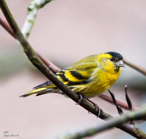 Czyżyk- #ptaki #ogrody #natura #przyroda #modraszki #drozdy #dzwoniec