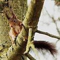 wiewiórka kombinuje jak na karmnik zeskoczyc - #wiewiórkt #ogrody #wiosna #przyroda #natura