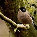 Samiczka Gila, nie jest taka piekna jak pomaranczowy Gil ale dostojna..#ptaki #ogrody #zwierzeta