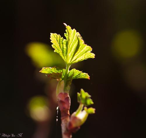 listki czarnej porzeczki ,- wiosna2018-ogrody #krzewy #natura #przyroda