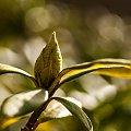 pąki Rhododendrona.- Rhododendrona.- wiosna2018-ogrody #krzewy #natura #przyroda