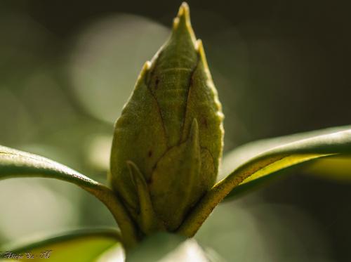 Rhododendron budzi sie .. ,- wiosna2018-ogrody #krzewy #natura #przyroda