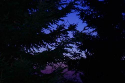 Niebieski świerk