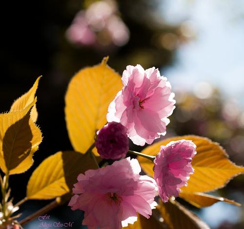 Wisnia japonska ozdobna.- #kwiaty #ogrody #drzewa #natura #przyroda