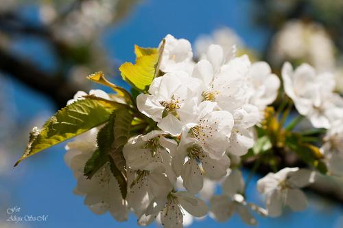 Kwiaty jablonil,- #kwiaty #drzewa #grusze #jablonie #magnolie