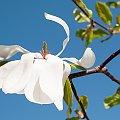Kobushi-Magnolie- (Magnolia kobus)- #kwiaty #drzewa #grusze #jablonie #magnolie