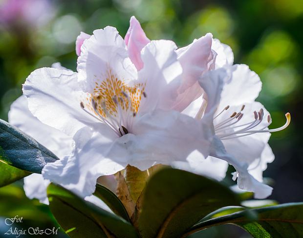 Różanecznik,Rhododendron blado-rózowy :) #kwiaty #ogrody #przyroda #natura