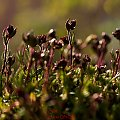 mchy ogrodowe,- #kwiaty #ogrody #przyroda #natura