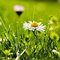 dzikie mini-stokrotki :) #kwiaty #ogrody #przyroda #natura