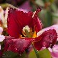 Tulipany, #kwiaty #wiosna #macro #tulipany #alicjaszrednicka #rhododendron