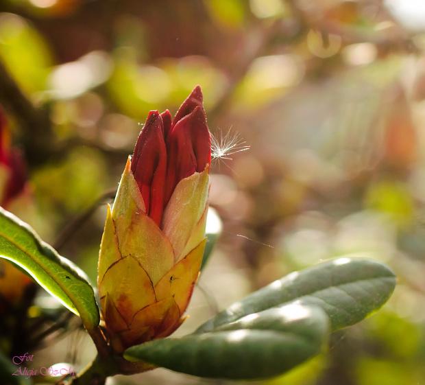 Różanecznik,Rhododendron,- #kwiaty #wiosna #macro #alicjaszrednicka #rhododendron