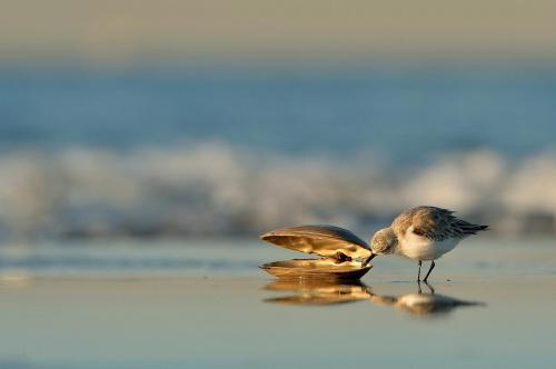 Poławiacz pereł