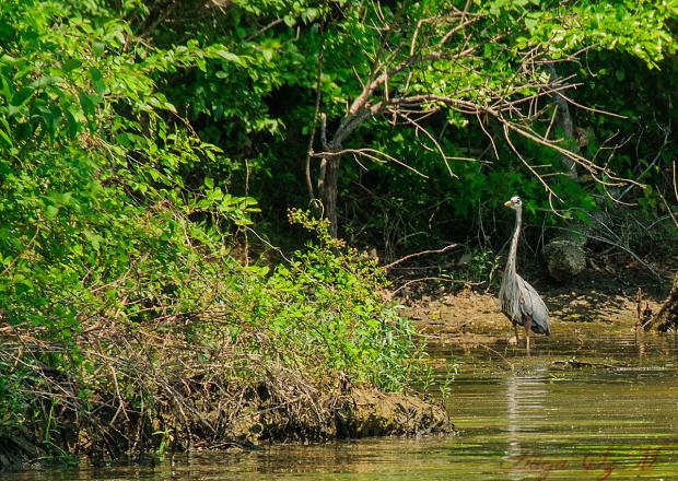 Czapla modra( Ardea Herodias)#ptaki #jeziora #czaple