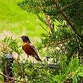 Drozd wędrowny (Turdus migratorius) – gatunek ptaka z rodziny drozdowatych (Turdidae) #Drozd #wędrowny #turdus #alicjaszrednicka #ptaki