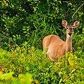 Mulak białoogonowy], jeleń wirgiński (Odocoileus virginianus) tuż przy domach;- jelenie#fauna PółnocnaAmeryka #alicjaszrednicka