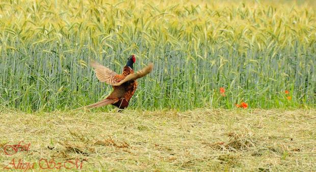 Bazant dziko zyjacy niedaleko gospodarstw,, #bazanty #NRW #natura #przyroda #ptaki #alicjaszrednicka