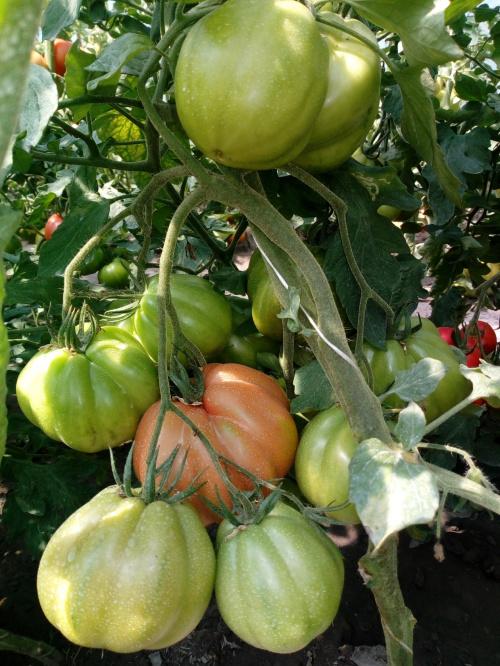 Zobacz Wątek Pomidory Malinowe Odmiany Polecane I Nie Polecane