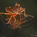 Srogoń baldaszkowiec #makro #owady