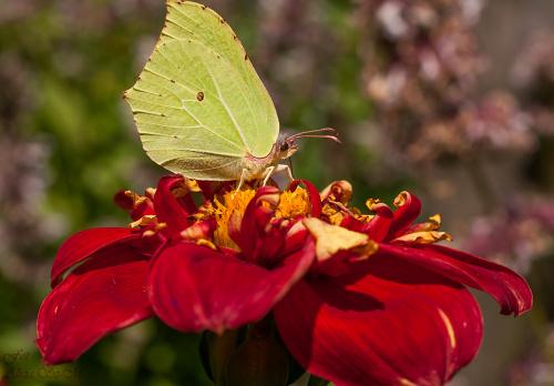 Cytrynek na Dalii.. #motyle #dalie #macro #lato