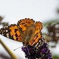 Rusalka Osetnik-.- #motyle #ogrody #macro