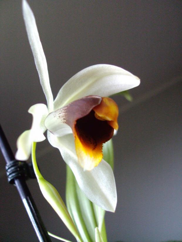 C. nitida