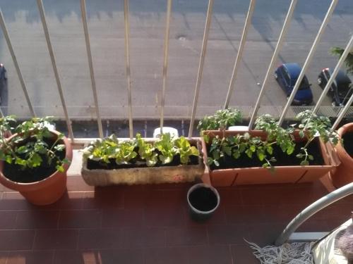 Zobacz Wątek Balkon Alicjiwarzywaowocezioła Na Balkonie