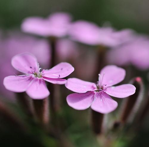 jedne z kwiatow na moim skalniaczku.. #ogrody #kwiaty