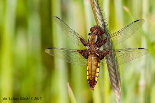 Skrzydlaty olbrzym - ważka płaskobrzucha (libellula depressa) #ważka #płaskobrzucha #owady