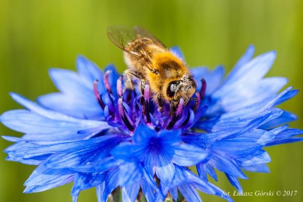 Chabrowy poczęstunek #chaber #pszczoła #makro #owady #kwiaty