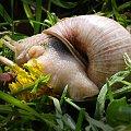 slimak slimak pokaz rogi..no i pokazal:) #natura #slimaki #macro #owadow