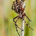 Kołosz wielobarwny #pająk #makro