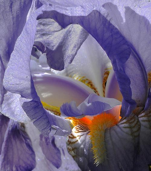 #kwiaty #irys #alicjaszrednicka #mondritzki