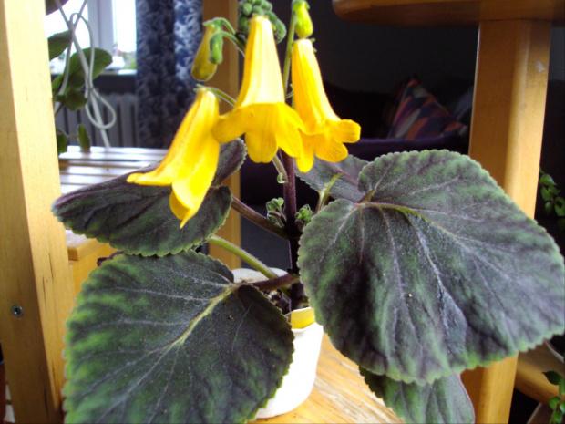 smithiantha żółta