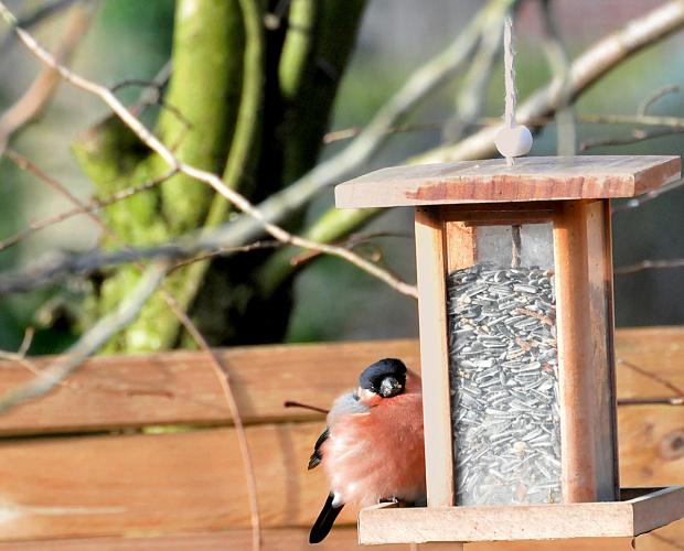 Taki grubas ,ze nie ma sily odfrunac siedzi czesto i dlugo tam.Chyba do tego chciwy chytrus bo gdy on tam siedzi to straszy inne ptaki ...;)) uwielbiam te ptaki obserwowac.. #ptaki #Gile #natura #alcjaszrednicka