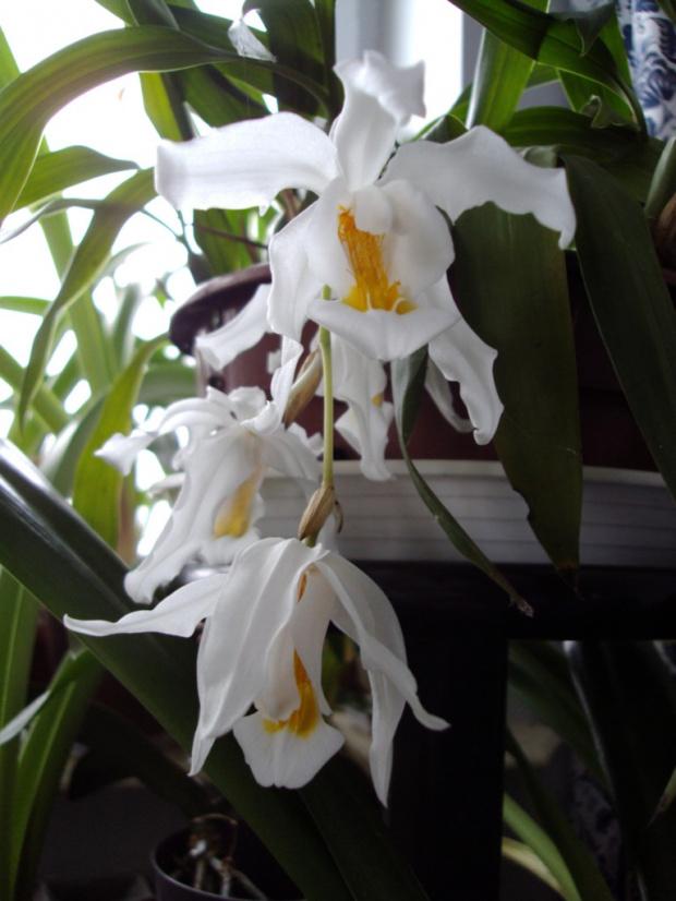 C. cristata